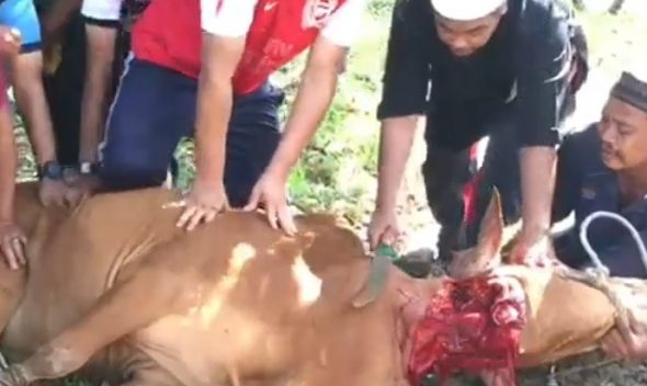 sembelih lembu di hari raya haji di tanah merah, kelantan